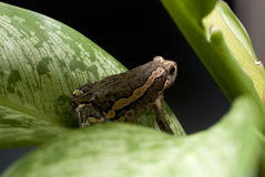 亚洲被绘的青蛙 免版税库存图片