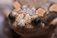亚洲被绘的青蛙 库存图片