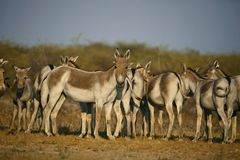 亚洲野驴,马属hemionus khur, Kutch,古杰雷特的小兰恩 图库摄影