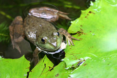 亚洲青蛙绿色 库存图片