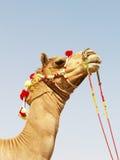亚洲骆驼 库存图片