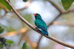 亚洲鲜绿色泰国的杜鹃Chrysococcyx maculatus美丽的公鸟 免版税库存图片
