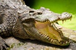 亚洲鳄鱼 库存图片