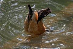 亚洲鸭子 免版税库存照片