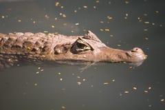 亚洲crofodile河水 图库摄影