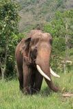 亚洲elecphant 免版税库存照片