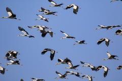 亚洲openbill storkAnastomus oscitans flyin群的图象  免版税库存图片