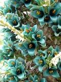 亚热带庭院: 蓝色puya花详细资料 库存图片