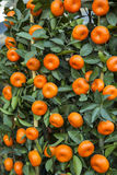 亚热带的果子 图库摄影