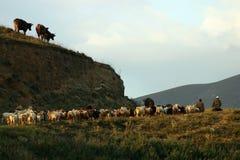 亚美尼亚牧群 免版税库存图片