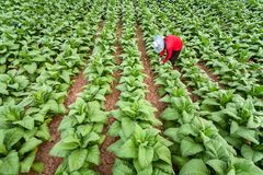 亚裔农夫种植在生长在国家的被转换的烟草的烟草,泰国 免版税库存图片