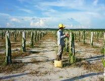 亚裔农夫,农业农场,龙果子 免版税库存图片