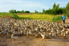 亚裔农夫,鸭子,越南村庄群  免版税库存照片