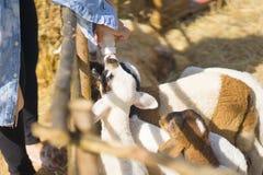 亚裔在农场的女孩哺养的山羊 免版税库存图片
