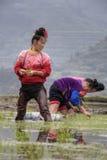 亚裔妇女农民繁忙用及早米移植了幼木 库存图片