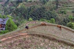 亚裔妇女看起来吃草,在村庄附近,中国的两头小牛 免版税库存图片