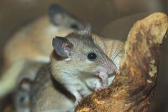 亚裔少年多刺的鼠标 库存照片
