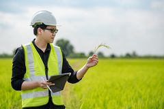 亚裔男性农艺师观察在米领域 免版税图库摄影