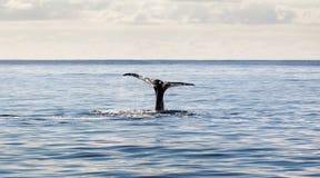 亚速尔群岛尾标鲸鱼 免版税库存照片