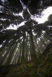 亚速尔群岛:绿色森林 免版税图库摄影