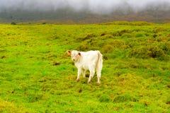 亚速尔-皮库岛海岛小牛,牲口在狂放,风雨如磐的休息日,牛 免版税图库摄影