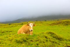 亚速尔-皮库岛海岛母牛,牲口在狂放,风雨如磐的休息日 库存图片