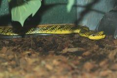 亚马逊喘气的蛇 库存图片