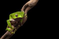 亚马逊巴西森林青蛙雨豆树 库存图片