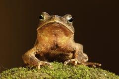 亚马逊热带青苔的蟾蜍 库存图片