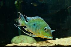 亚马逊热带鱼 库存图片