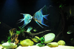 亚马逊热带鱼 免版税库存照片
