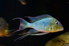 亚马逊热带鱼 图库摄影