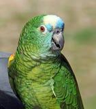 亚马逊蓝色朝向的鹦鹉 库存照片