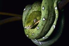 亚马逊蟒蛇卷起的绿色密林爬行动物&# 库存图片