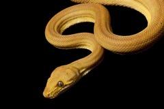 亚马逊蟒蛇结构树 免版税库存照片