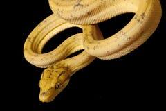 亚马逊蟒蛇结构树 库存图片