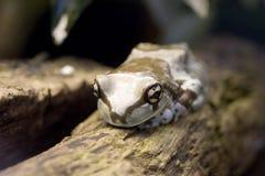 亚马逊青蛙牛奶phrynohyas resinifictrix 图库摄影