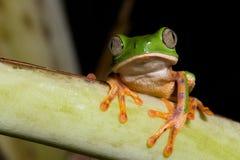 亚马逊青蛙绿色密林热带晚上的结构&# 免版税库存图片