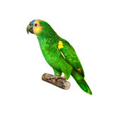亚马逊naped鹦鹉黄色 库存图片