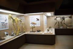 亚洲人中国,北京,古老animalï ¼ ŒIndoor展览室博物馆, 免版税库存图片