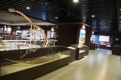 亚洲人中国,北京,古老animalï ¼ ŒIndoor展览室,化石博物馆  库存图片