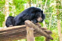 亚洲人放松在树荫下的太阳熊 库存照片