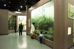 亚洲人自然历史中国,北京,北京博物馆  图库摄影
