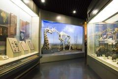亚洲人自然历史中国,北京,北京博物馆  免版税图库摄影