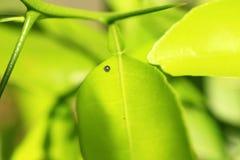 亚洲人Swallowtail的鸡蛋 库存照片