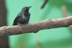 亚洲光滑的椋鸟 图库摄影