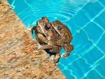 亚洲共同的蟾蜍夫妇, bufo melanostictus 免版税库存图片