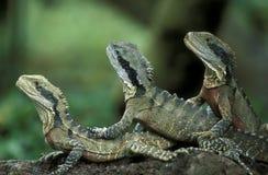 亚洲印度尼西亚巴厘岛动物REPTIL鬣鳞蜥 免版税库存图片