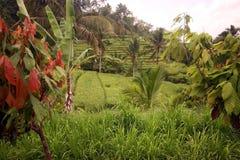 亚洲印度尼西亚巴厘岛风景RICEFIELD 免版税库存照片