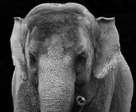 亚洲大象关闭 免版税库存图片